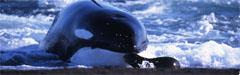 Große Schwertwal
