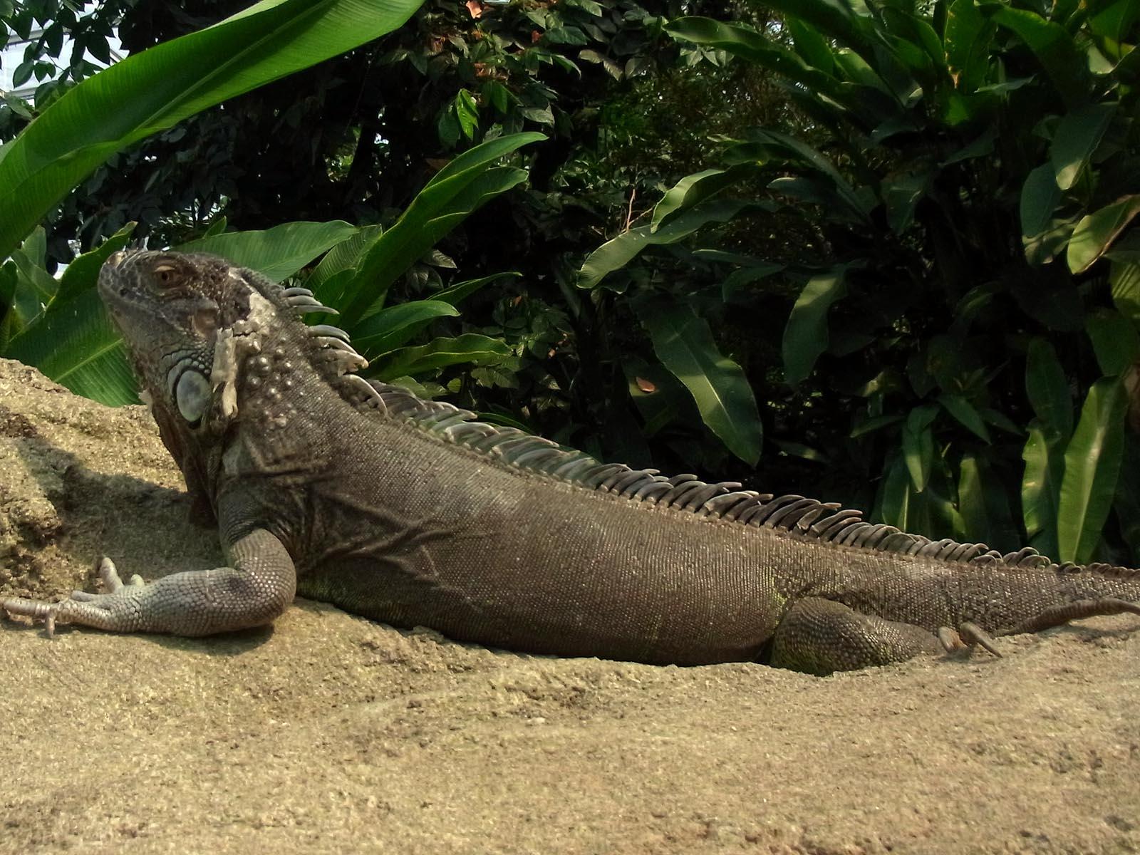 Grüner Leguan Foto & Bild   tiere, zoo, wildpark