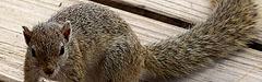 Afrika, Afrikanische Borstenhörnchen