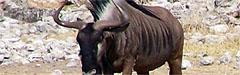 Afrika, Gnu (Antilope, Streifengnu)