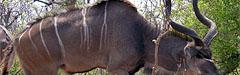 Afrika, Kudu