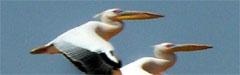 Afrika, Pelikane