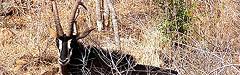 Afrika,  Rappenantilope