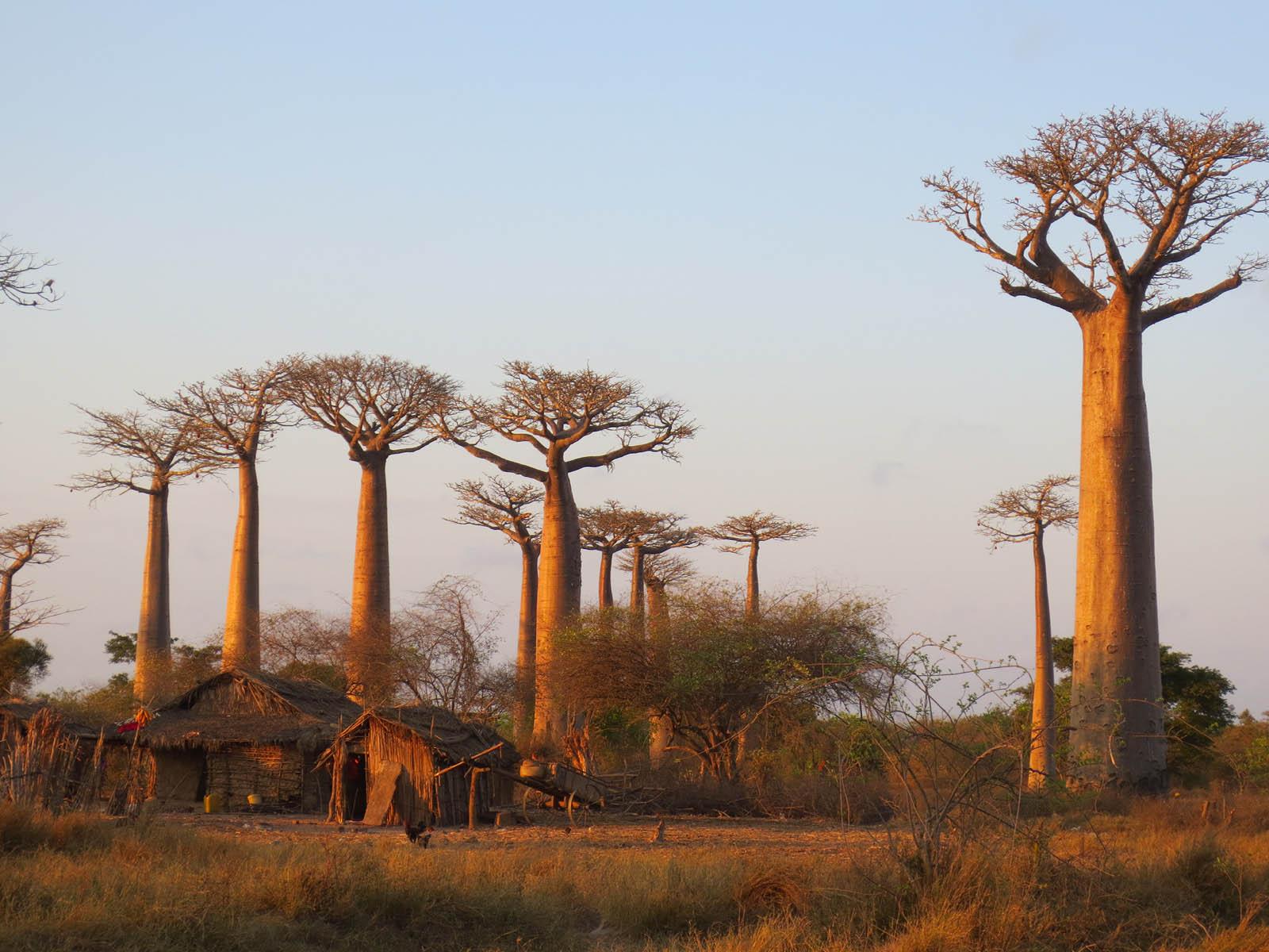 Palisanderbaum im regenwald  Sehenswürdigkeiten   Länder   Madagaskar   Goruma