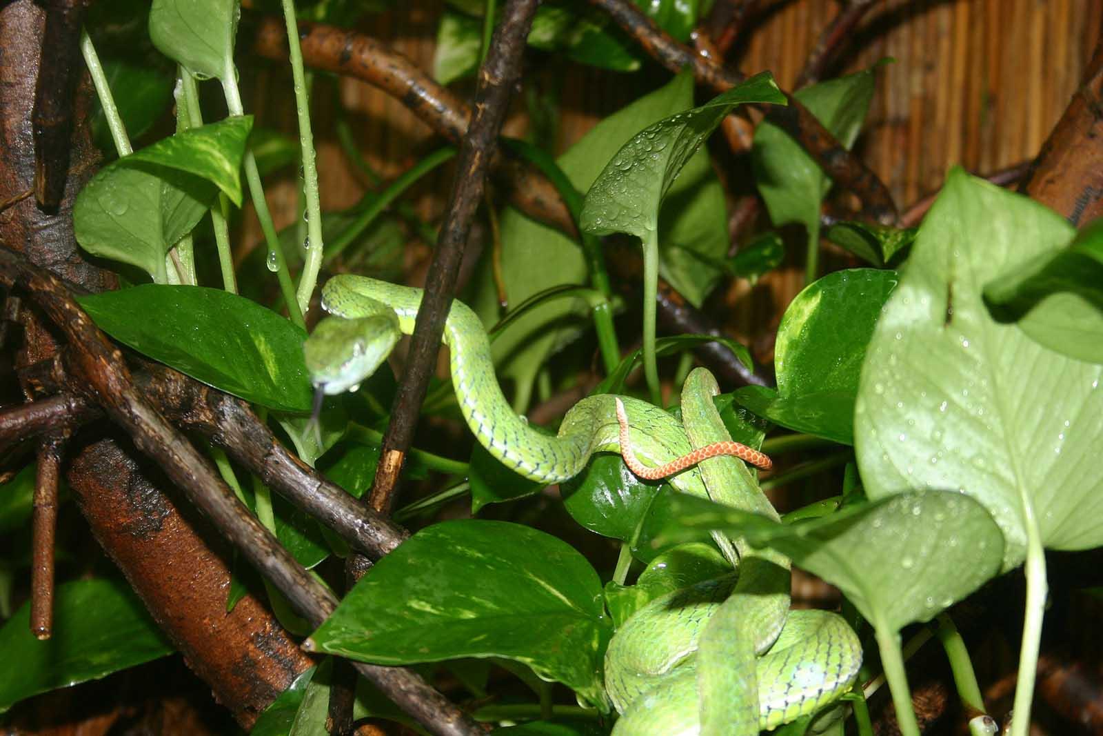 Hagens Bambusotter Trimeresurus Hageni Tiere Giftschlangen Goruma