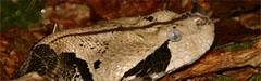 Afrika, Giftschlange, Rhinozeros Viper