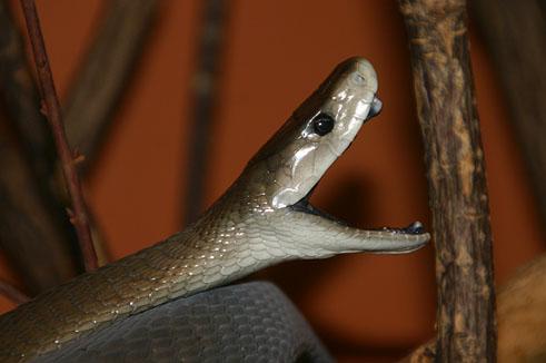 Schwarze Mamba, Dendroaspis polylepis   Tiere   Giftschlangen   Goruma