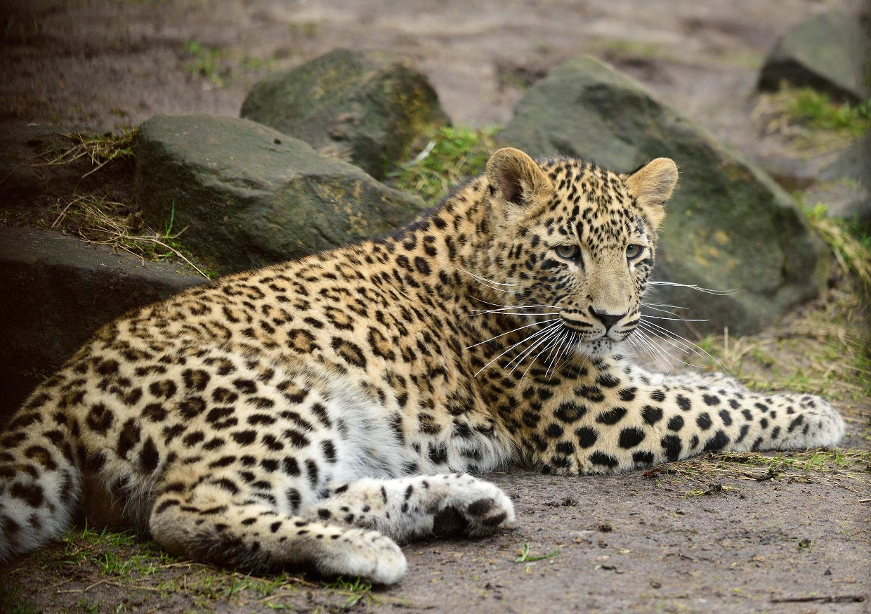 Leopard, Panther   Tiere   Säugetiere   Goruma