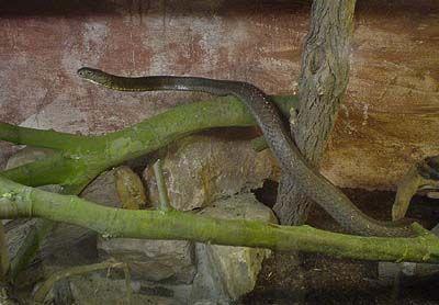 Königskobra Ophiophagus Hannah Tiere Giftschlangen Goruma